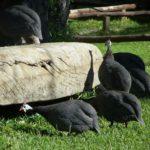 Du Vlei Farmstall Guinea Fowls Birds